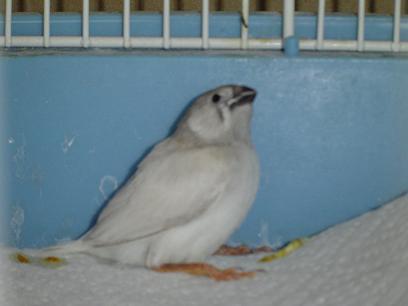 gray-finch.JPG