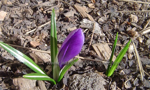 purple-crocus.jpg