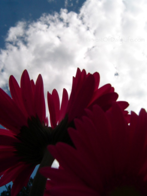 Daisies against a cloudy sky