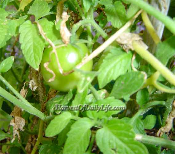 My tomato plant sets fruit